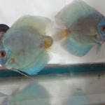 Albino-Blue-Diamond-Intermediate-Pair