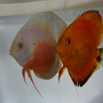 Mom, Marlboro Red and Dad, Red White Discus Pair - Fry for Sale