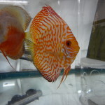 Red Tiger Discus Fry Coming Soon